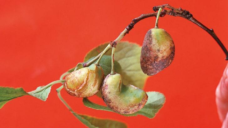 Maladie des pochettes du prunier