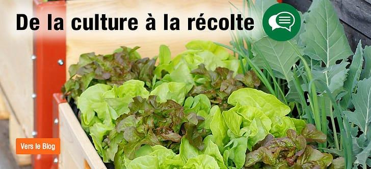 Salade dans la jardinière surélevée