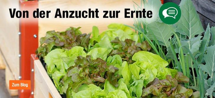 Salat im Hochbeet